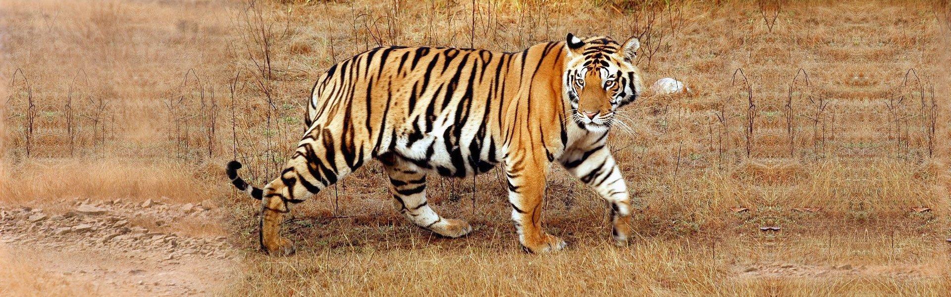 Taj Mahal and the tale of Tiger