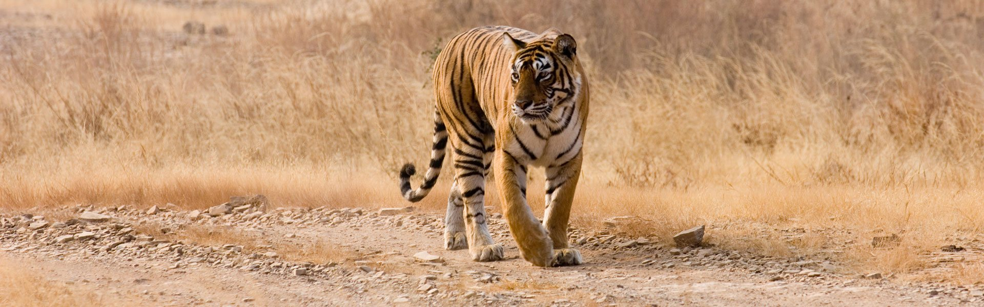 Golden Triangle with Tiger