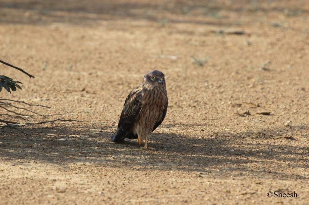 Montagu's Harrier, Greater Rann of Kutch, Banni Grasslands Kutch