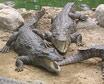 Crocodile Breeding Farm