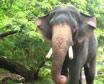Guruvayur Elephant