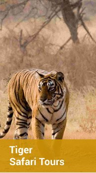 Tiger Safari Tours