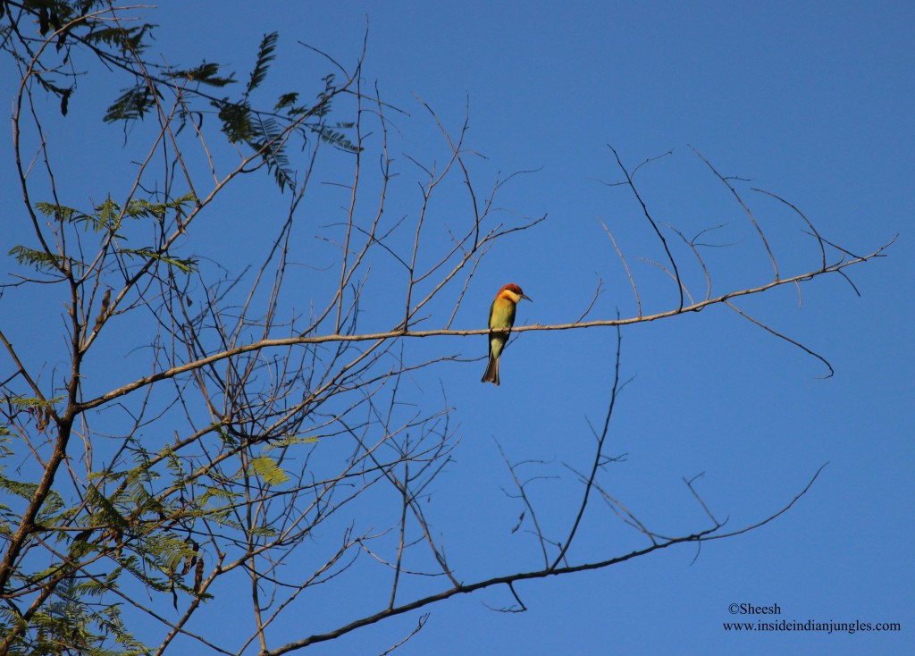 Chestnut headed bee eater at Corbett National Park